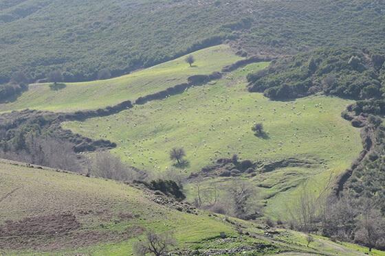 Eine Schafherde im Hinterland.
